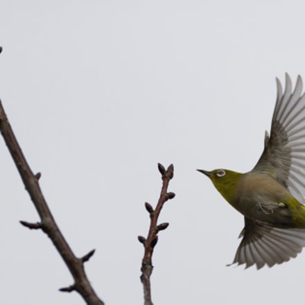 Flying White Eye, Canon EOS-1D X, Canon EF 200mm f/2.8L II