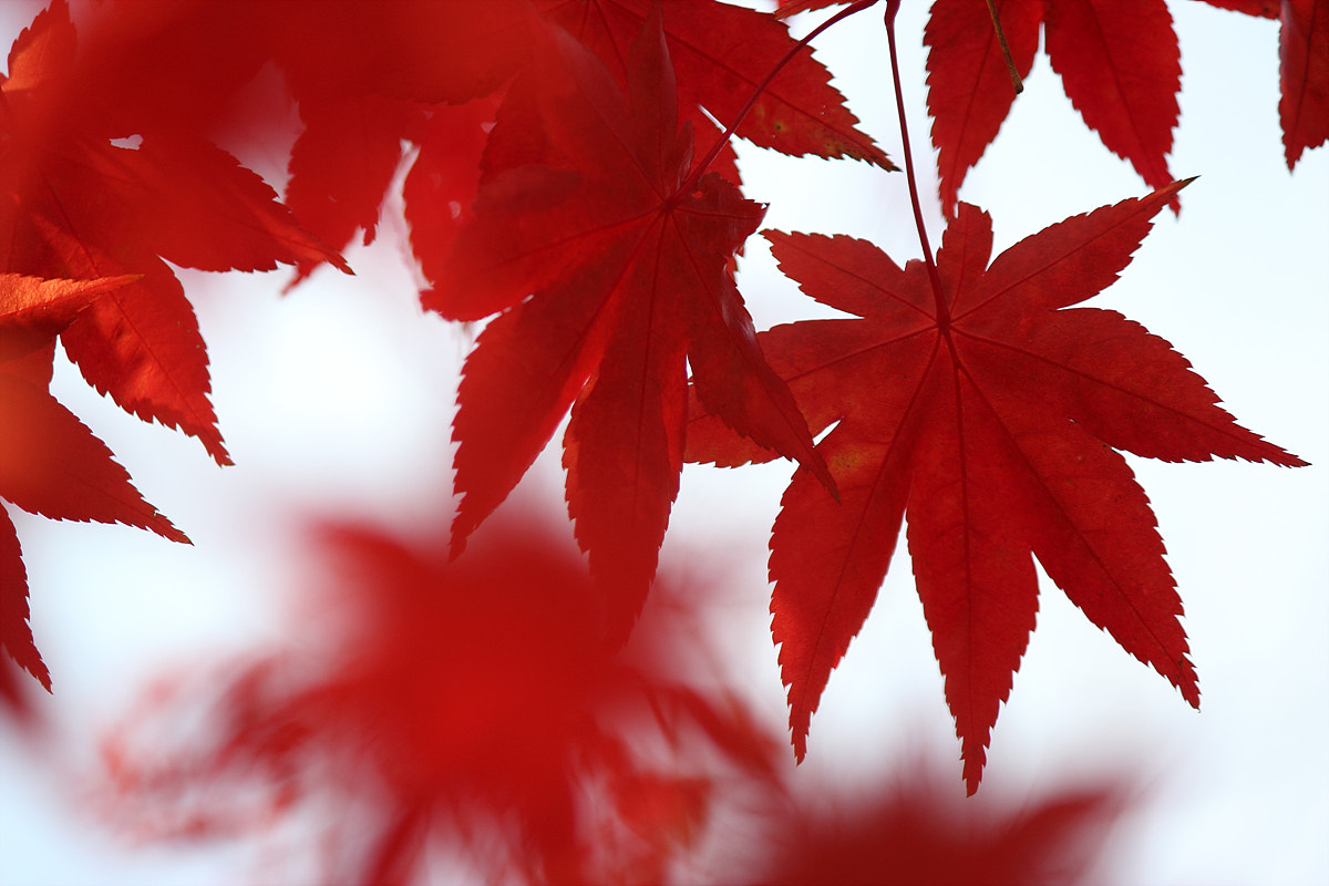 Photograph Red maple by TY Kim on 500px