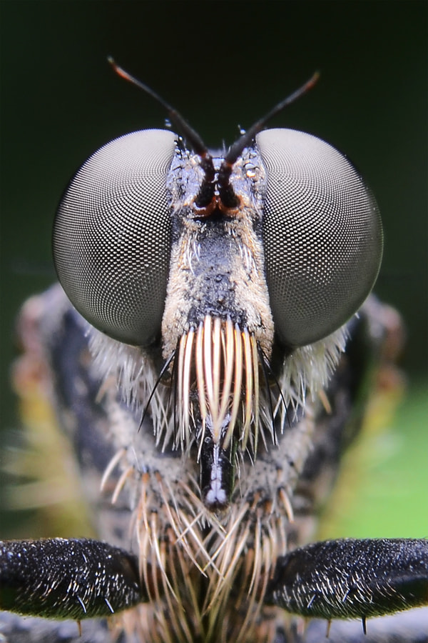 Photograph the black robberfly by Tele Nicotin on 500px