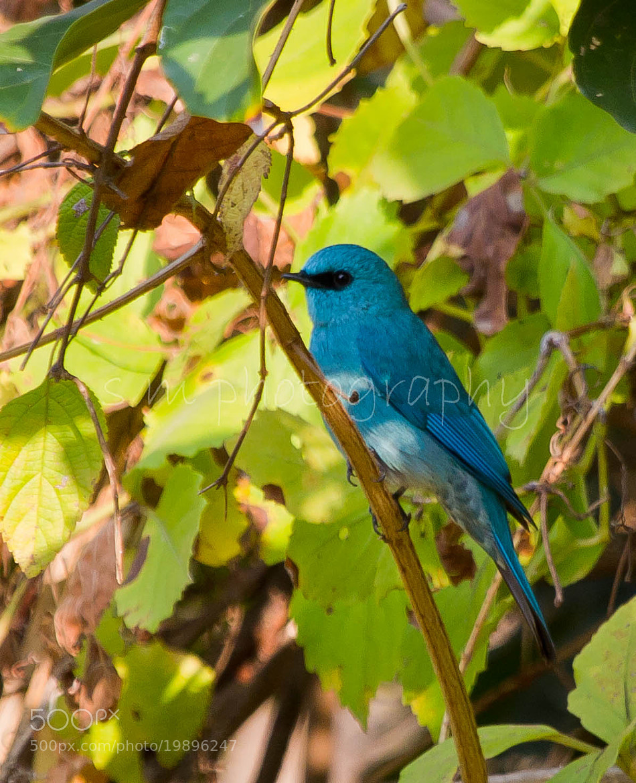 Photograph Verditer Flycatcher by Santosh Mulik on 500px