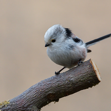 Long-tailed tit, Nikon D7200, Sigma APO 120-400mm F4.5-5.6 DG OS HSM