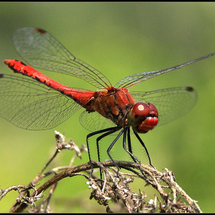 Dragonfly, Canon EOS 450D, Sigma 18-125mm f/3.8-5.6 DC OS HSM