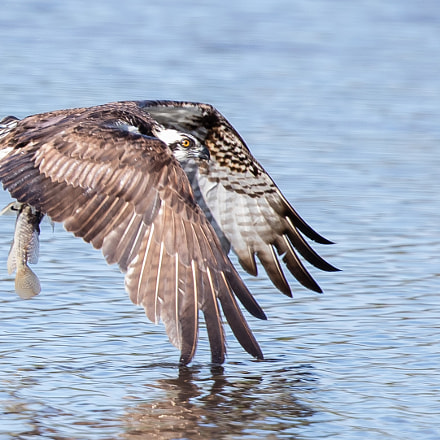 Osprey, Canon EOS-1D X MARK II, Canon EF 500mm f/4L IS II USM