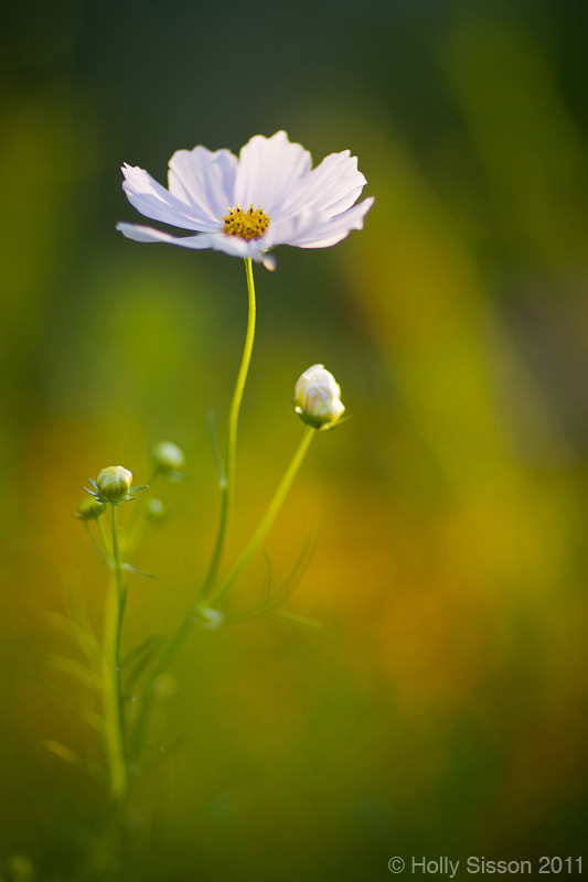 Photograph White Flower by Holly Sisson on 500px