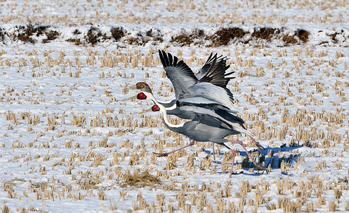Photograph White-naped Crane  by Young Sung Bae on 500px