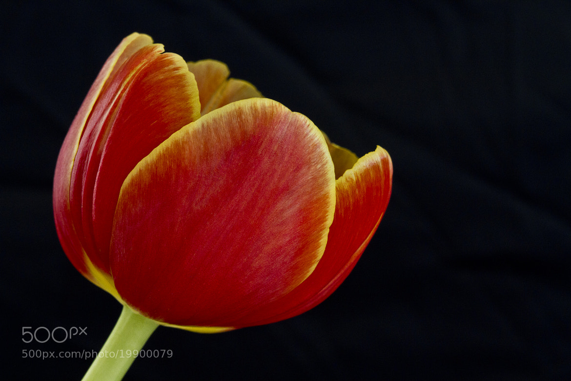 Photograph Tulip by Kim Andelkovic on 500px