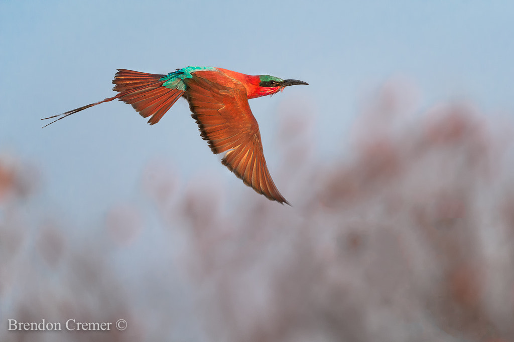 Photograph Southern Carmine by Brendon Cremer on 500px
