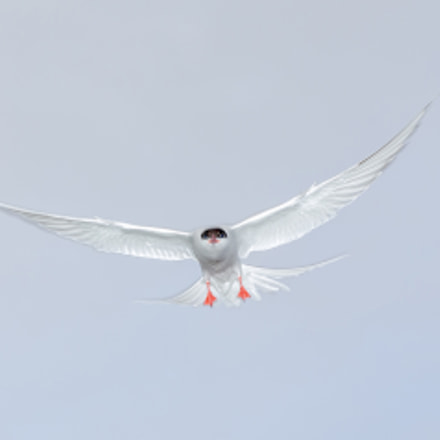 Tern, Canon EOS 5D MARK III, Tamron SP AF 28-75mm f/2.8 XR Di LD Aspherical [IF] Macro