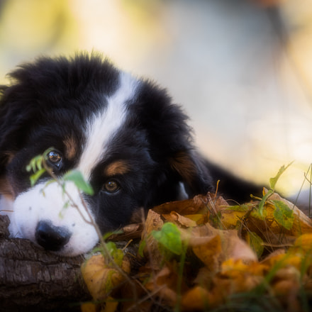 Puppy, Canon EOS 5D MARK IV, Canon EF 70-200mm f/2.8L IS II USM