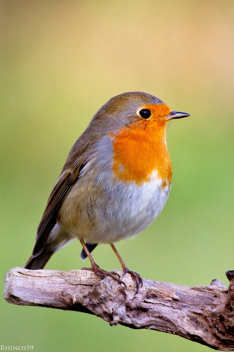 Photograph Robin by Rino Di Noto on 500px