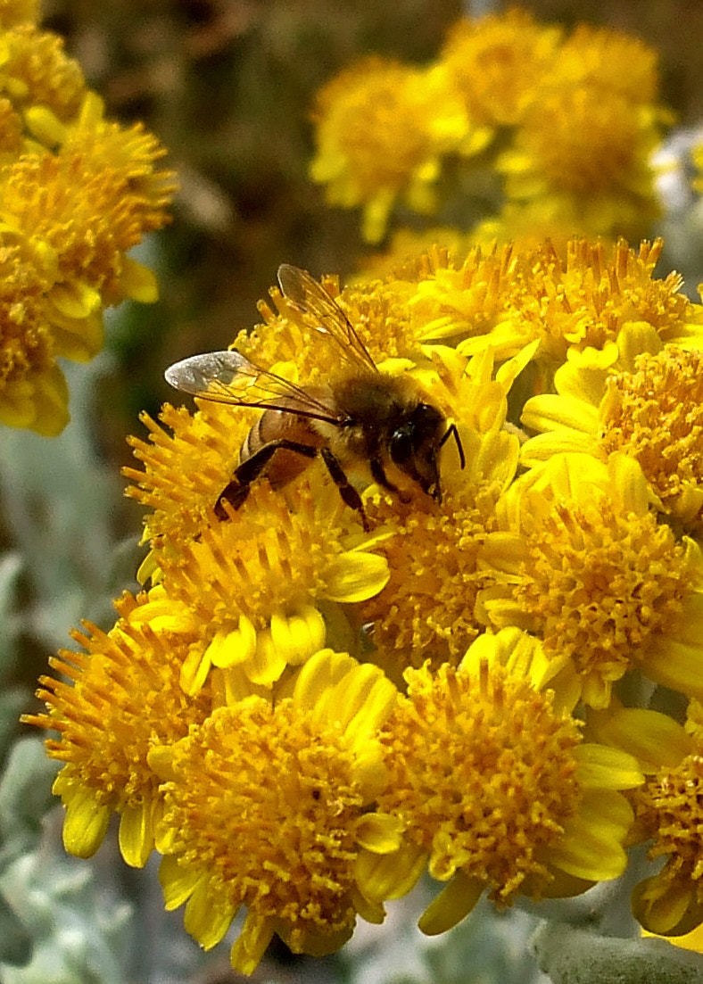 Photograph Bee and Dusty Miller July 11 2011 by Rick Dalrymple on 500px