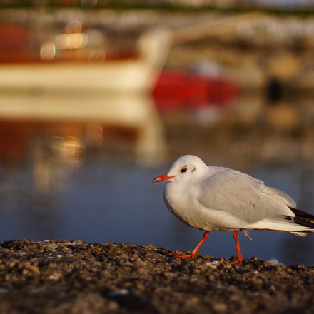 Lonely Seagull, Sony SLT-A77V, Sony 50mm F1.4 (SAL50F14)