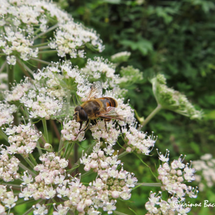 Bee on white flowers, Canon POWERSHOT SX240 HS