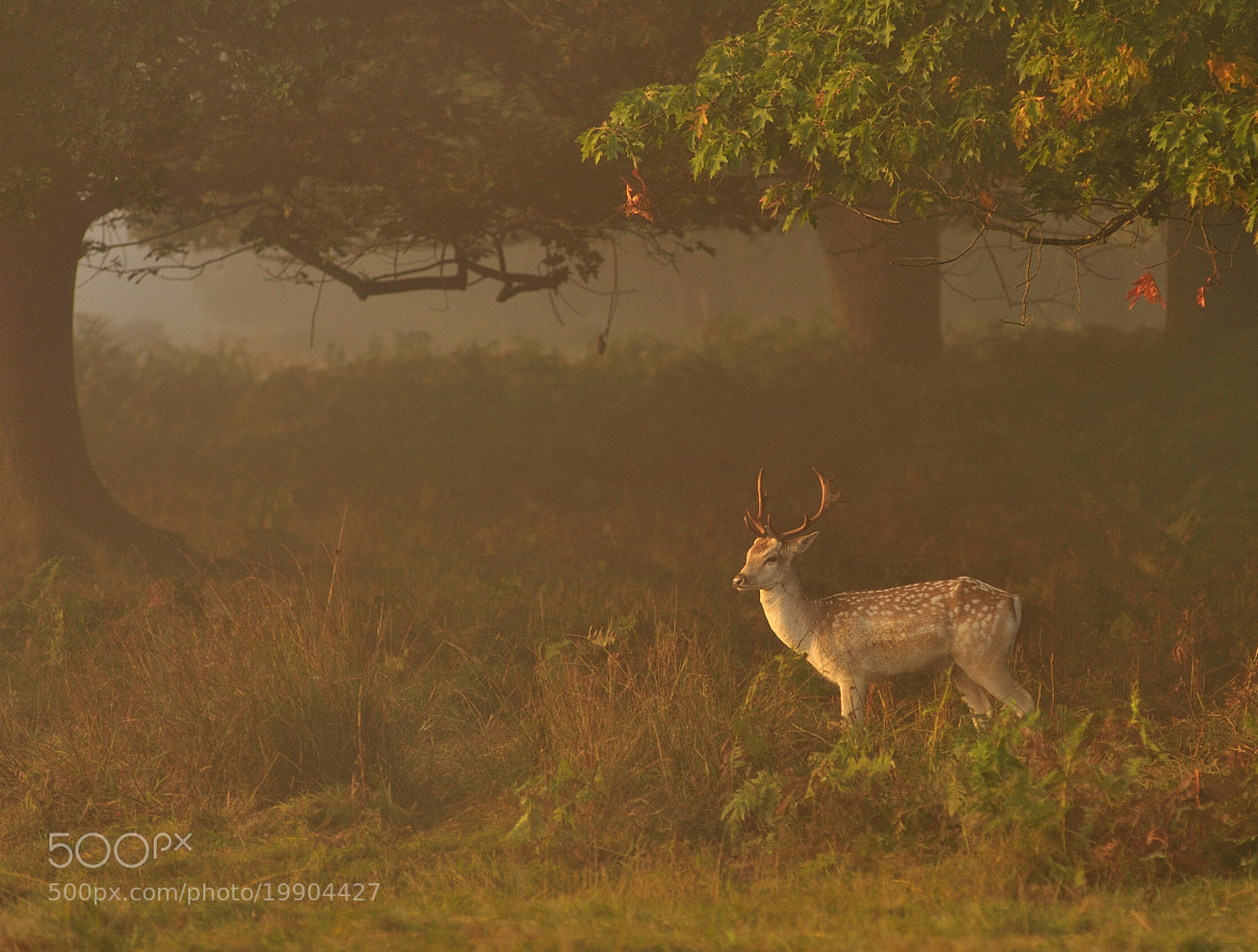Photograph Fallow Deer  by Andreas Jones on 500px