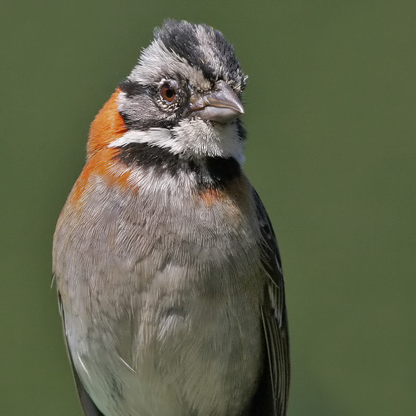 Photograph Sparrow Portrait by Aat Bender on 500px