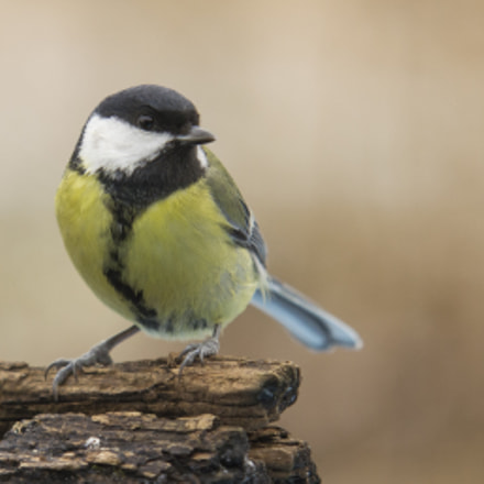 Great Tit, Nikon D3100, Sigma APO 100-300mm F4 EX IF HSM