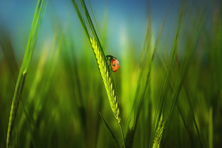 Photograph In the green ears by Silvia Georgieva on 500px