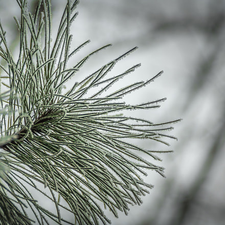 Evergreen, Canon EOS 760D, Canon EF 75-300mm f/4-5.6 IS USM