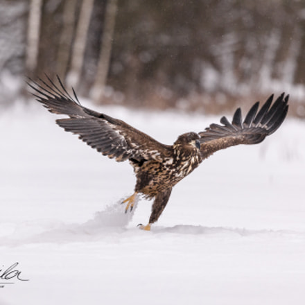 White-tailed eagle, Canon EOS-1D X, Canon EF 200-400mm f/4L IS USM