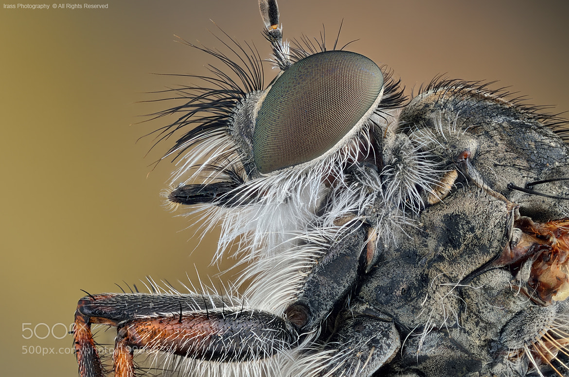 Photograph Robber Fly. by ireneusz irass walędzik on 500px