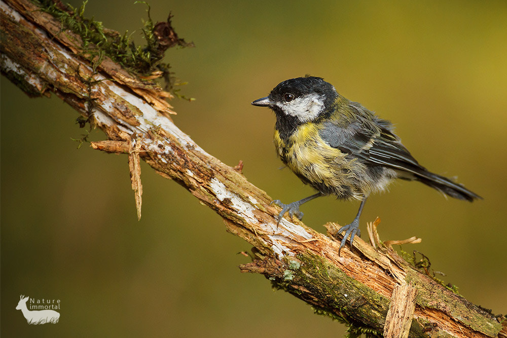 Photograph Great tit on rotten branch by Neil Burton on 500px