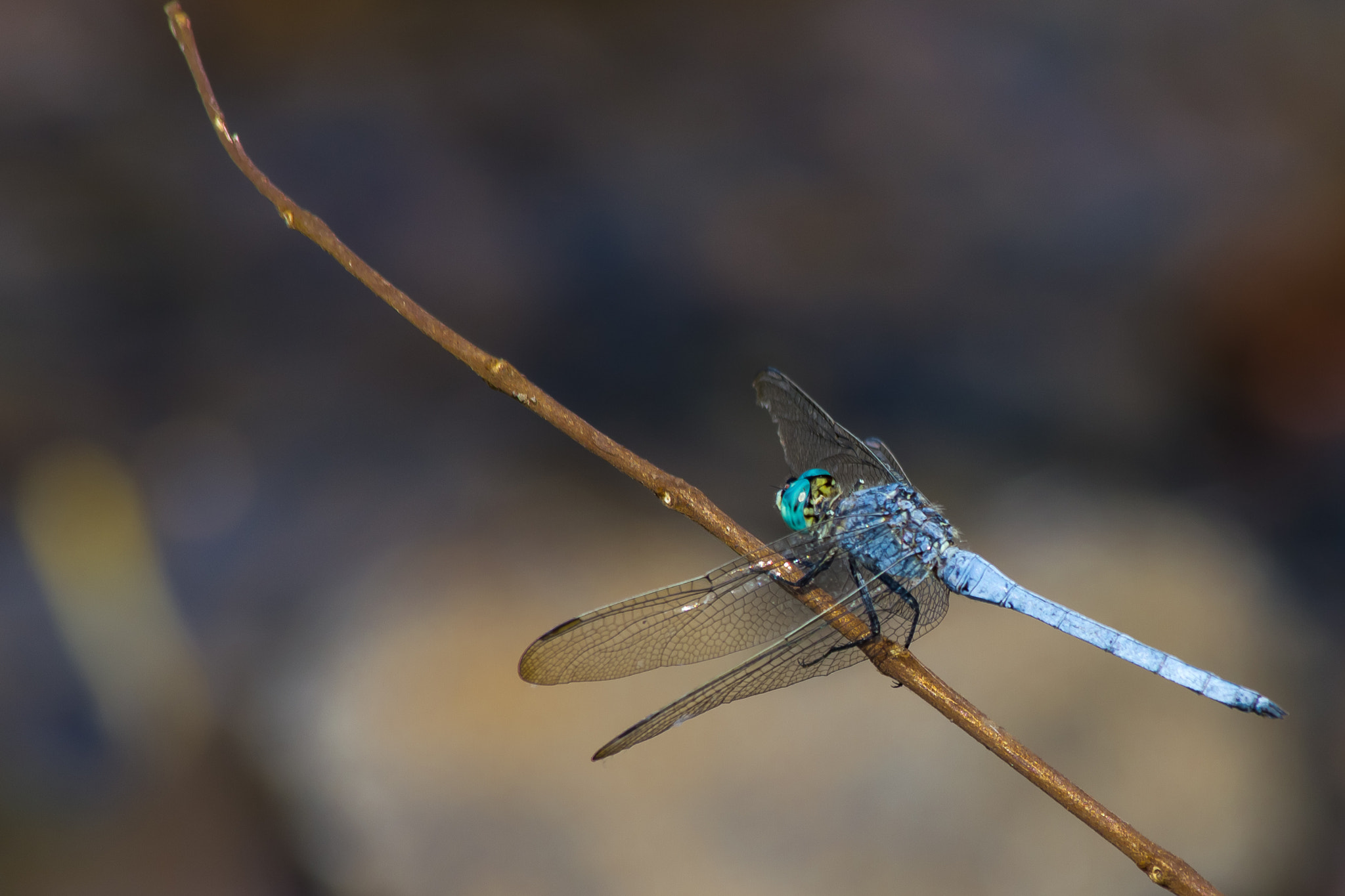 Photograph Blue Dragonfly by Jinesh Udani on 500px