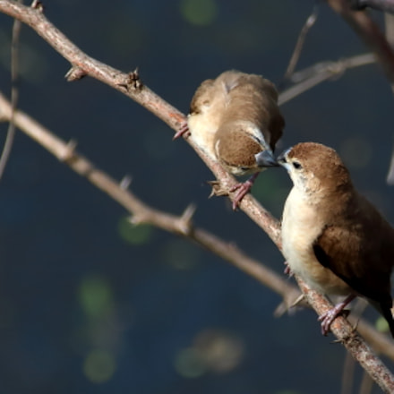 Indian silverbill or white-throated, Canon EOS 70D, Canon EF 75-300mm f/4-5.6 IS USM