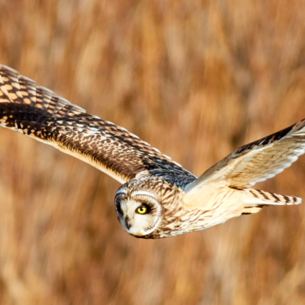 Short-eared Owl, Canon EOS 7D MARK II, EF400mm f/5.6L USM