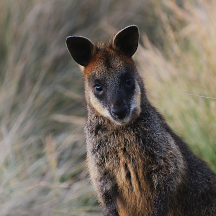 Swamp wallaby , Canon EOS 700D, Canon EF 22-55mm f/4-5.6 USM