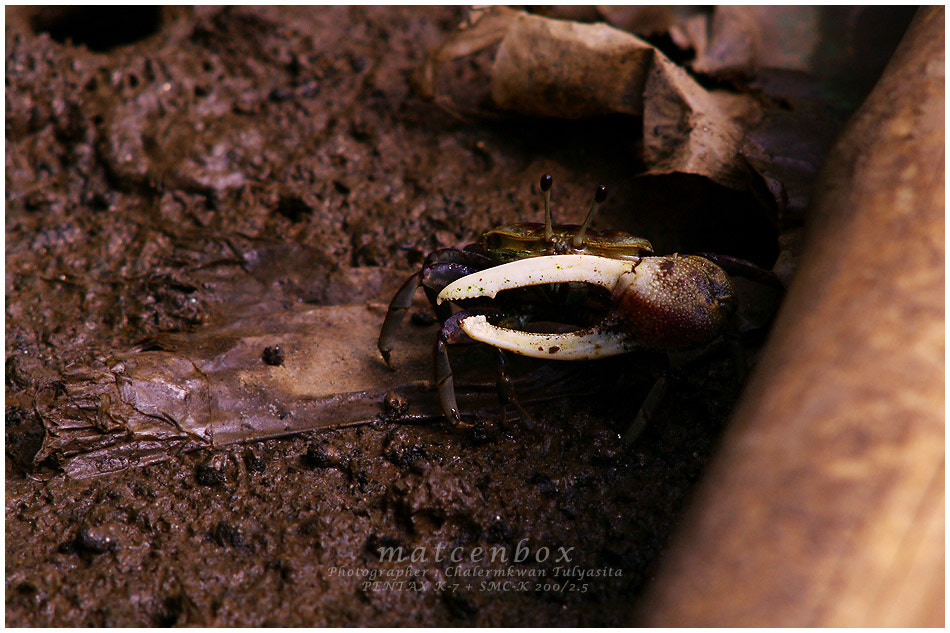 Photograph Fiddler crab by Matcenbox  on 500px