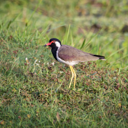 Red-wattled Lapwing, Canon EOS KISS X5, Canon EF 70-300mm f/4-5.6 IS USM