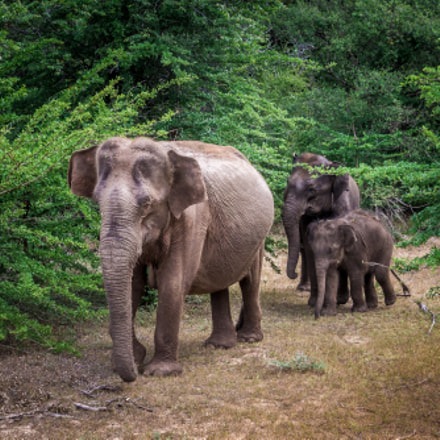 Elephant Family, Canon EOS KISS X5, Canon EF-S 17-55mm f/2.8 IS USM