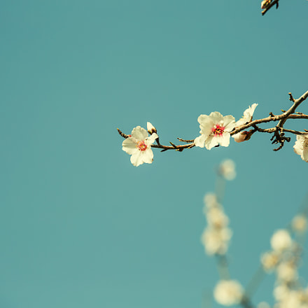 Almond flower trees at, Canon EOS 5D MARK III, Sigma 70-200mm f/2.8 APO EX HSM