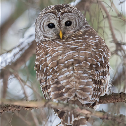 Barred Owl in Forest, Canon EOS 7D MARK II, Canon EF 500mm f/4L IS II USM