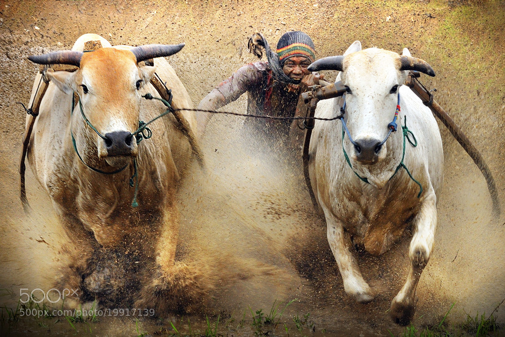Photograph PACU JAWI#3 (Cow Race) by Agus Gunawan on 500px