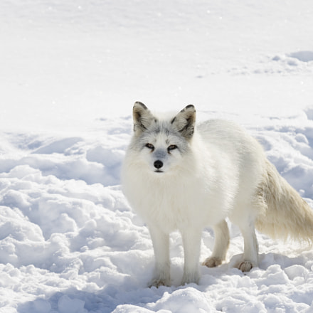 Arctic fox standing in, Canon EOS 7D MARK II, Canon EF 70-200mm f/2.8L IS II USM