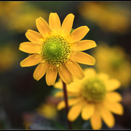 Yellow, Canon EOS 450D, Canon EF 50mm f/1.8 II