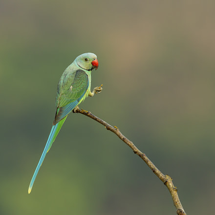 Malabar parakeet (male), Canon EOS 5D MARK III, Canon EF 600mm f/4L IS