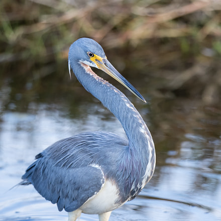 Tricolored Heron, Canon EOS-1D X MARK II, Canon EF 500mm f/4L IS II USM