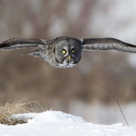 Great gray owl Chouette, Canon EOS-1D X