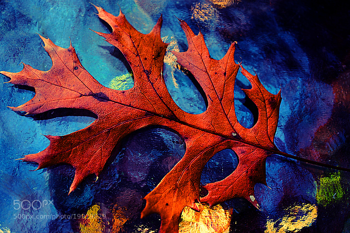 Photograph Colorful Oak Leaf Portrait by Beth Akerman on 500px