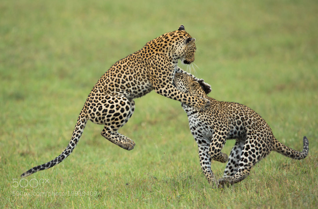 Photograph Leopard Dance by Marlon du Toit on 500px