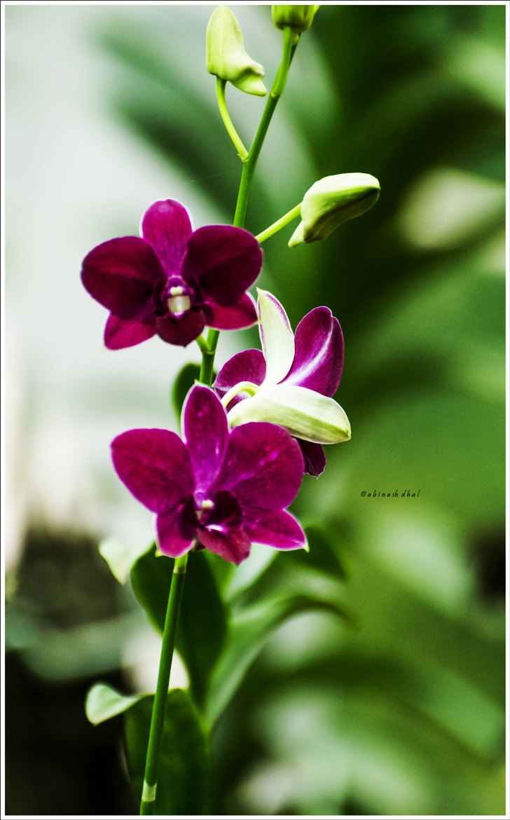 Photograph Orchids by Abinash Dhal on 500px