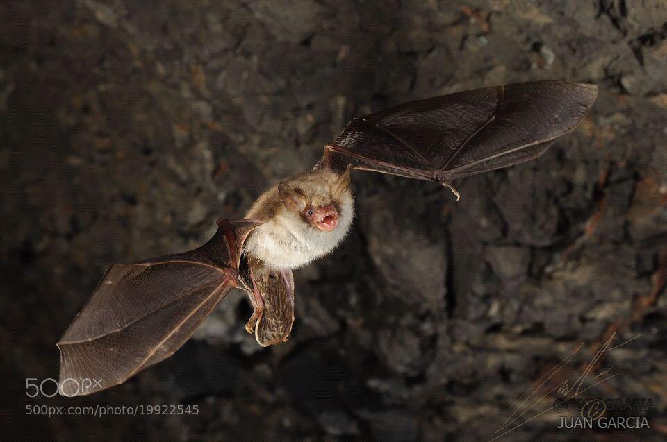 Photograph Bat by Juan García on 500px