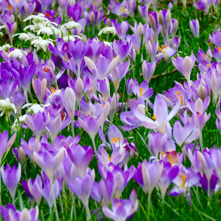 Crocuses in Spring, Canon EOS 70D, Sigma 18-125mm f/3.8-5.6 DC OS HSM
