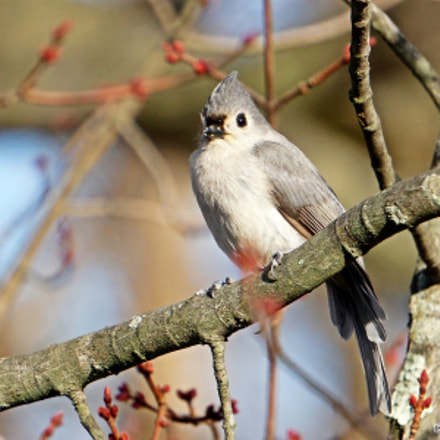 Tufted Titmouse in Maple, Sony ILCE-6000, Sony E 55-210mm F4.5-6.3 OSS