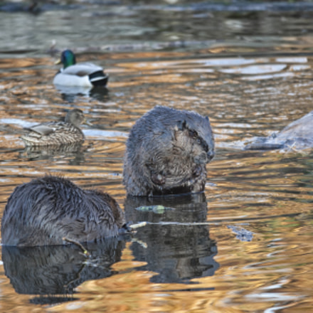 Beavers and Ducks, Canon EOS-1D MARK III, Canon EF 600mm f/4L IS