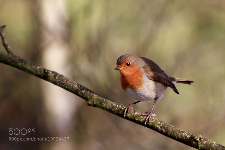 Robin by Katie Halsall on 500px.com