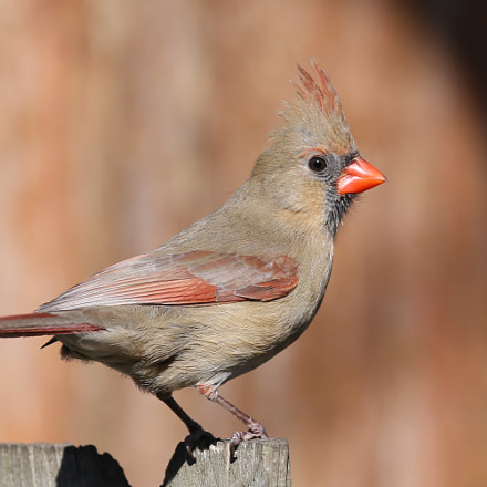 Red Cardinal, female, Canon EOS-1D X