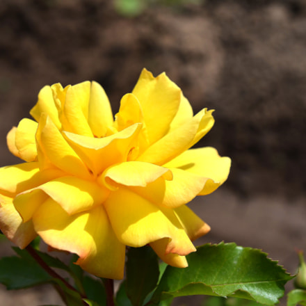 Yellow rose, Nikon D7000, AF-S DX Micro Nikkor 40mm f/2.8G